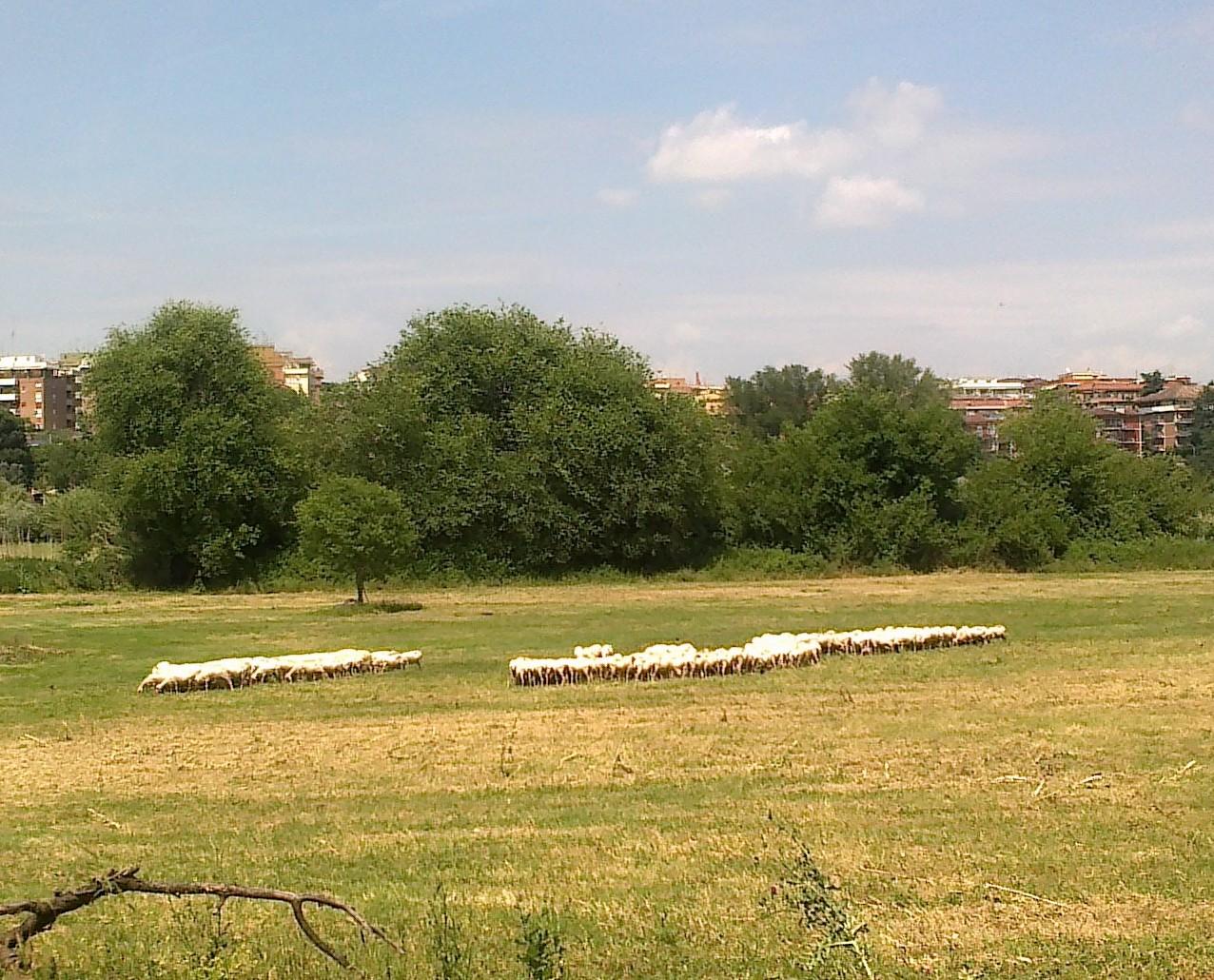 Tutte meritevoli, devo dire, scattate con il mio smartphone… LI PECURI! Lo giuro, questo gregge era nel romanissimo Parco della Caffarella. Non chiedetemi come sia arrivato qui… _____________________________________________________________ AUDIO VINTAGE...